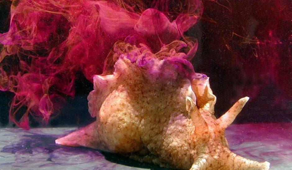 Aplysia escargot