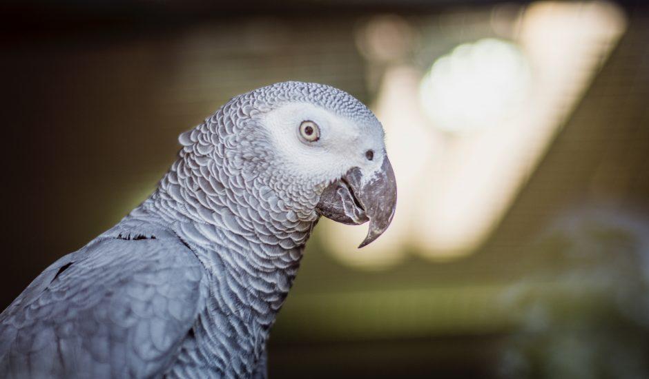 Un perroquet s'amuse à discuter avec Alexa au quotidien
