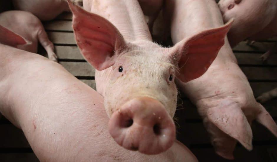 L'élevage de cochon en Chine traverse une crise.
