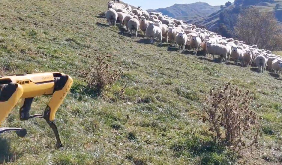 Sport en train de garder un troupeau de moutons.