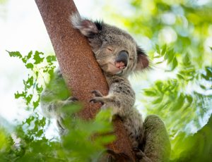 Un koala en train de dormir accroché à un arbre.