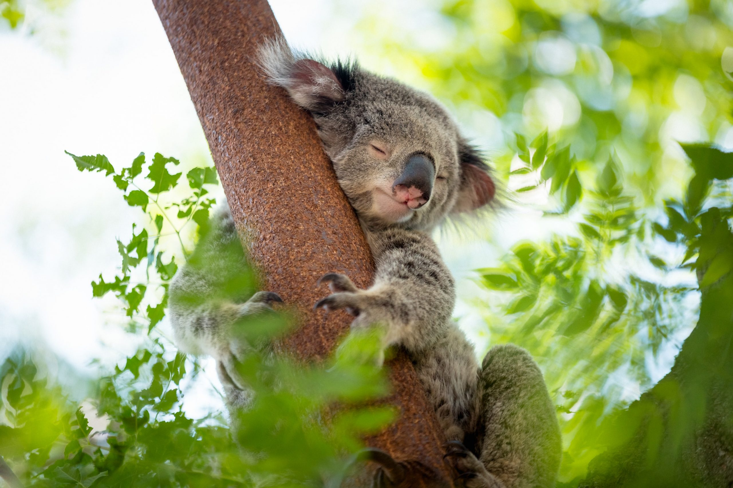 Australie : la reconnaissance faciale au secours des koalas