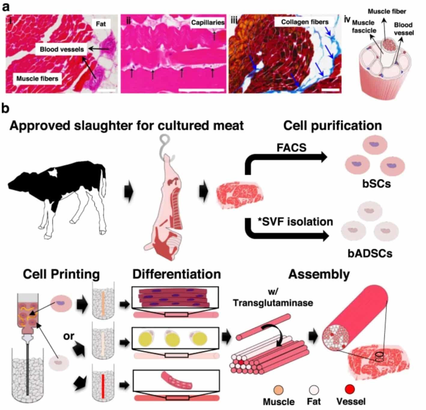 Schémas sur le processus de création d'une pièce de viande par de l'impression 3D, à partir de cellules souches